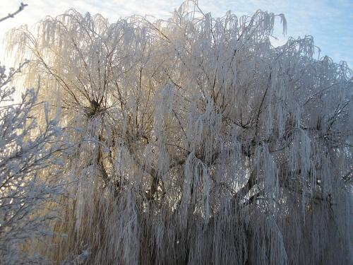 Ice tears on the weeping willow