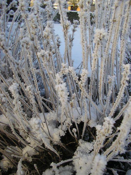 Lavend-ice
