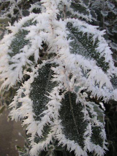 Frosted prickles #2